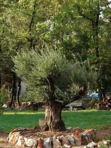 Olivier à Planter. quelle fleur planter au pied un olivier. ou ...