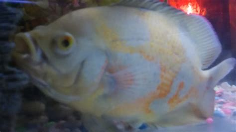 fish mouth open oscar close gasping cant stuck seem bulging