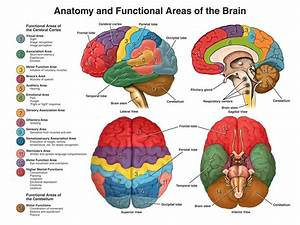 Anatomy And Guide Anatomy Of The Brain And Functions at ...
