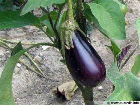 cuisiner l aubergine le calendrier de culture de l 39 aubergine