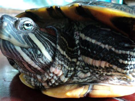 Dunia Ikan Hias: Kura-kura Brazil