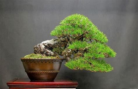 Found on Bing frompinterest com Indoor bonsai tree