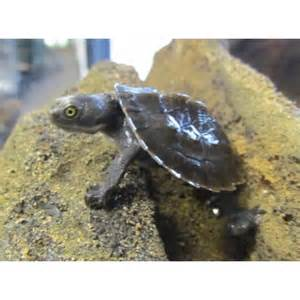 Baby Pet Turtles for Sale