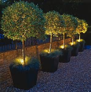 halogen spots highlight potted olive trees flowers