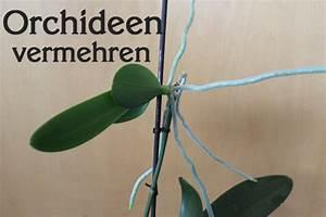 Luftwurzeln Bei Orchideen : wie orchideen vermehren tipps und methoden ~ Frokenaadalensverden.com Haus und Dekorationen