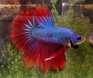 Rose Petal Betta Fish Pictures to Pin on Pinterest - PinsDaddy