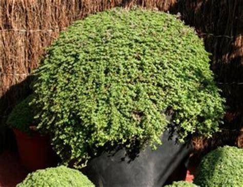 culture du thym en pot thym planter et tailler comprendrechoisir