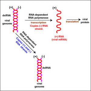 Double-Stranded RNA Virus Replication
