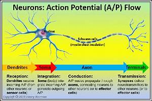 What Is The Neurons U0026 39  Main Function
