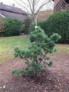 Kiefer Richtig Pflanzen Kiefer Den Baum Richtig Pflanzen Pinus