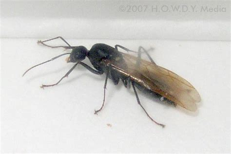 flying ant exit s insect pictures
