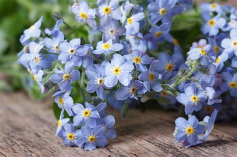 blume vergissmeinnicht bilder blaue blumen vergissmeinnicht closeup auf holz stockfoto colourbox