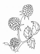 Coloring Pages Blackberry Berries Printable Fruits Template Aster Templates Yagoda Recommended sketch template