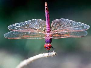 Dragonfly And Damselfly Facts Meaning And Habitat How