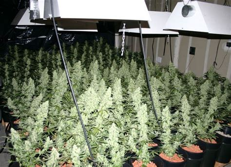 how to grow sea of green growing meds for relief how to grow to grow and green