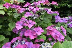Wann Pflanzt Man Hortensien : hortensien im garten so bl hen sie in den sch nsten farben ~ Yasmunasinghe.com Haus und Dekorationen