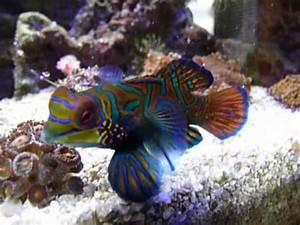 Aquarium Fische Süßwasser Liste : mandarin fisch meerwasser aquarium f tterung fish saltwater feed youtube ~ A.2002-acura-tl-radio.info Haus und Dekorationen