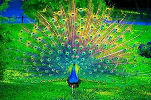 Beautiful Peacocks | Beautiful peacock dancing | Beautiful ...