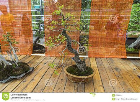 englische eiche bonsai im stil stockfoto bild von