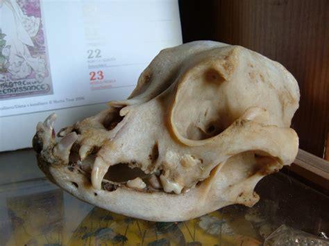 boxer skull  worldboneclub  deviantart