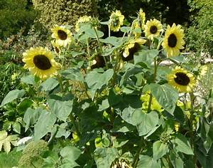 Helianthus annuus L. - common sunflower