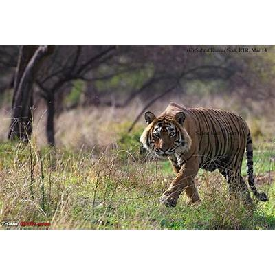 Tigers of the Ranthambore National Park - Team-BHP