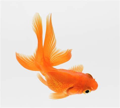 fantail goldfish carassius auratus elevated view  don
