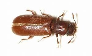 insecte xylophage comment lutter contre cet ennemi du bois With insecte de parquet