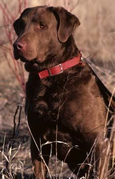 dog breed gallery funny chesapeake bay retrievers