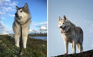 Alaskan Malamute Vs Husky - 10 Differences You Need To ...