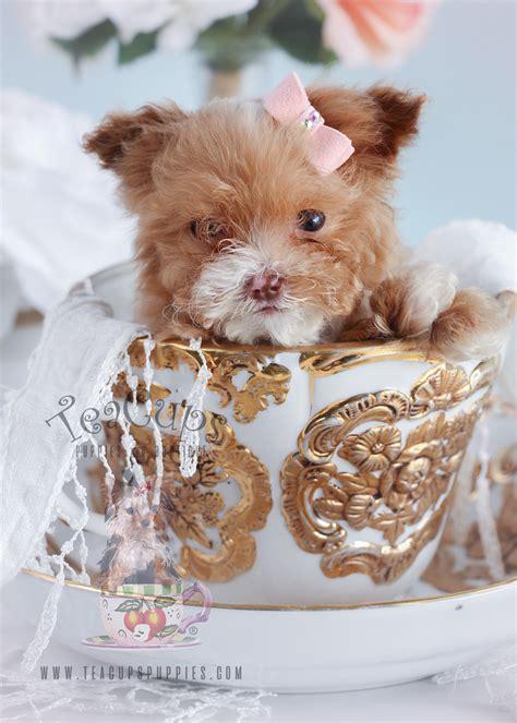 micro teacup poodle puppies  sale  teacups puppies