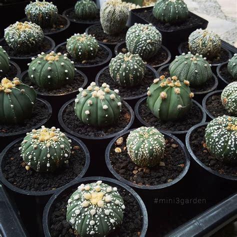 #astrophytum | การปลูกพืช, สวน, ต้นไม้ในบ้าน