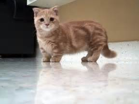 munchkin cat munchkin cat breeders rescue pictures facts care