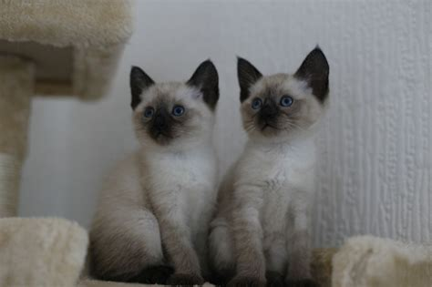 Traditional Siamese Kittens For Sale  Stockport, Greater