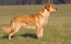 Golden Retriever Breed Profile Australian Dog Lover