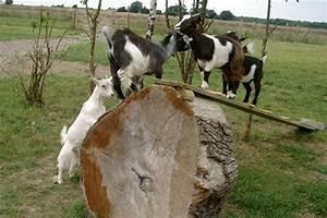 Baby Pygmy Goats Jumping Pygmy goat kids playing | GOATS ...
