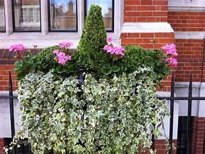 Pelargoniums, For, London, Window, Boxes