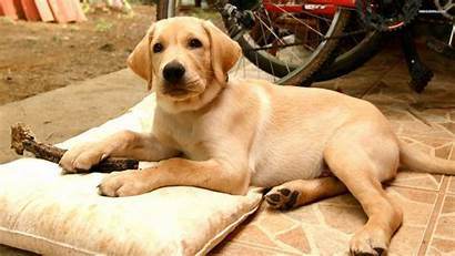 Labrador Dog Wallpapers Dogs Puppies Backgrounds Retriever