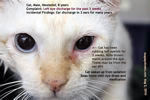 discharge from cat s eye feline eye discharge pictures to pin on pinsdaddy