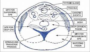 Neck Cross Section Showing Sites For Superficial And