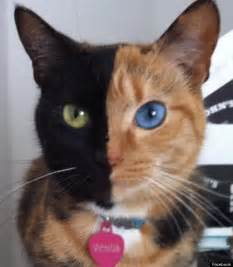 chimera cat called venus has two faces pictures