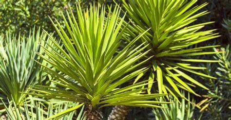 Yucca Palme Draußen by Yucca Palme Ratgeber Auf Hagebau At
