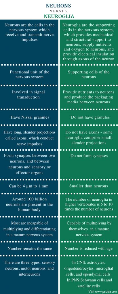 difference  neurons  neuroglia definition