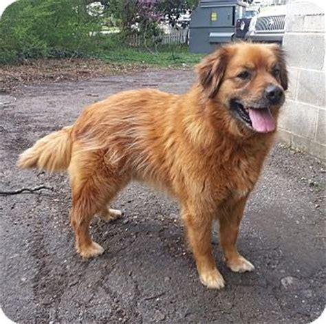 lawrenceville ga leonberger meet red  pet  adoption