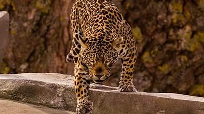 Jaguar Predator Wild Beast 4k Wallpapercan Brazo