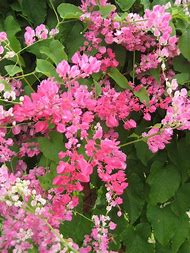 Best flowering vine ideas and images on bing find what youll love flowering vine pink flowers mightylinksfo