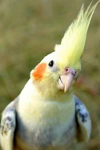 One of my favorite cockatiel pictures | Best pet birds ...