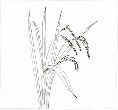 Plant Rice Drawing Extract Paintingvalley Drawings