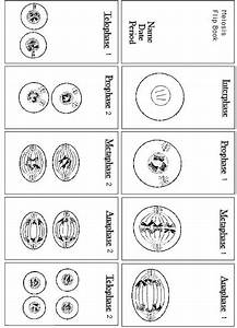Mitosis Flip Book Answers Diagram Masters