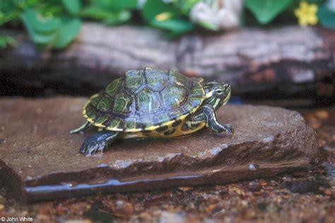 slider turtle cumberland slider